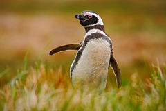 Pinguin im Gras Pinguin in der Natur Magellanic-Pinguin mit heben Flügel an Schwarzweiss-Pinguin in der Szene der wild lebenden T Lizenzfreies Stockbild