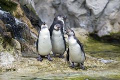 Pinguin im Zoo Stockbild