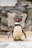 Pinguin im Zoo lizenzfreie stockfotografie