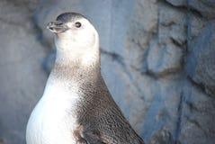 Pinguin-Küken lizenzfreie stockfotos