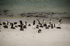 PINGUIN-KOLONIE AUF DEM STRAND Stockfoto