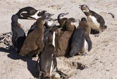 Pinguin-Kolonie an der Schule Lizenzfreie Stockbilder
