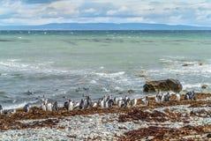 Pinguin-Kolonie in Punta Arenas lizenzfreie stockfotos