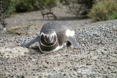 Pinguin lying on shore Royalty Free Stock Images