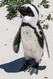 Pinguin-Makro stockfotos