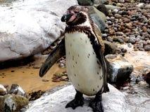 Pinguin mignon Photos libres de droits