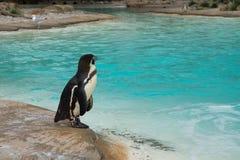 Pinguin nahe dem Wasser Lizenzfreie Stockfotografie