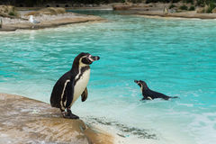 Pinguin nahe dem Wasser Lizenzfreie Stockbilder