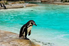Pinguin nahe dem Wasser Stockbild