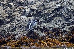 Pinguin que oculta entre las piedras en la isla de Chiloé Imagenes de archivo