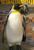 Pinguin royalin Stockbild