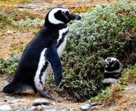 Pinguin in Südamerika Stockbild
