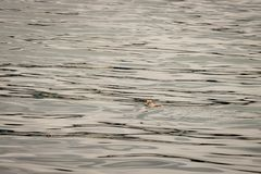 Pinguin schwimmt weg auf ruhigem See mit negative Kopien-Raum stockbild