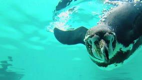 Pinguin taucht am Tierpark stockfotos
