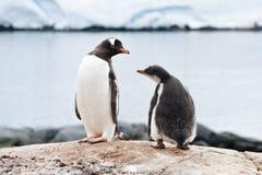 Pinguin und Küken Stockfoto