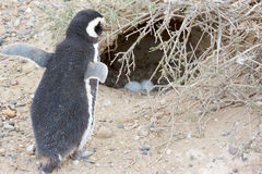 Pinguin und Nest Stockbilder