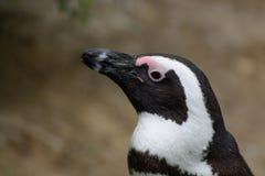 Pinguin w hamburgeru zoo Obrazy Royalty Free
