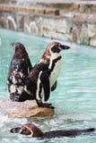 Pinguin-Zoo Stockfoto
