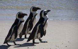 Pinguine Lizenzfreie Stockfotos
