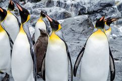 Pinguine an Asahiyama-Zoo lizenzfreie stockfotos