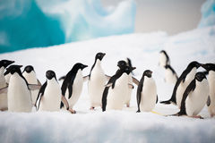 Pinguine auf dem Schnee Stockfoto