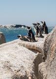 Pinguine auf den Felsen lizenzfreies stockfoto