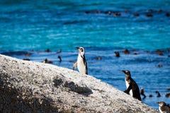 Pinguine auf einem Felsen Stockbild