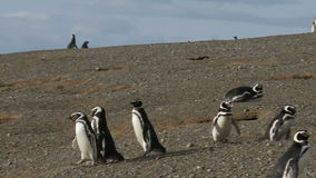 Pinguine auf Magdalena Island Chile stock video