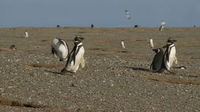 Pinguine auf Magdalena Island Chile stock footage