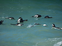 Pinguine am Flussstein-Strand, Cape Town stockfoto