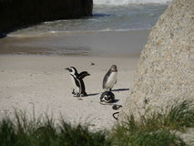 Pinguine am Flussstein-Strand, Cape Town stockbilder