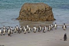 Pinguine nach dem Fischen Lizenzfreie Stockfotos