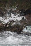 Pinguine in S?damerika bereiten sich f?r ein Schwimmen vor stockbilder