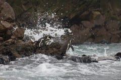 Pinguine in S?damerika bereiten sich f?r ein Schwimmen vor lizenzfreies stockfoto