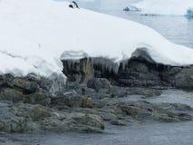 Pinguine schleppen aus dem Meer heraus, während das Eis anfängt zu schmelzen Stockbilder