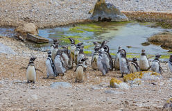 Pinguine in Schwierigkeiten Stockfoto