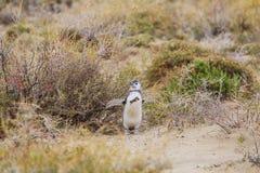 Pinguine in Schwierigkeiten Stockbild