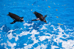 Pinguine Swim lizenzfreies stockfoto