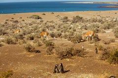 Pinguine und Lamas Lizenzfreie Stockfotografie