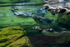Pinguine Unterwasser lizenzfreies stockfoto