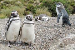 Pinguinfamilie op de stenen van het kiezelsteenstrand Royalty-vrije Stock Foto