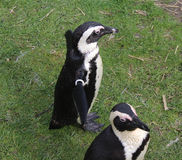 Pinguingruppe Stockbild