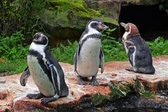 Pinguini Immagini Stock Libere da Diritti