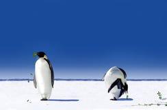 Pinguini Fotografia Stock