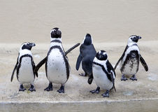 Pinguini Fotografie Stock
