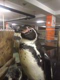 pinguini  Immagine Stock Libera da Diritti