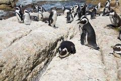 Pinguini africani Fotografia Stock Libera da Diritti