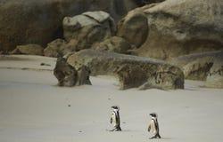 Pinguini africani Immagini Stock
