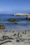 Pinguini africani Immagine Stock