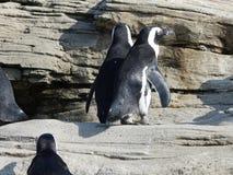 Pinguini africani 10 Fotografia Stock